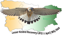 Greater chance for Lesser Kestrel in Bulgaria