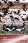 Poster for the Red-Breasted Geese