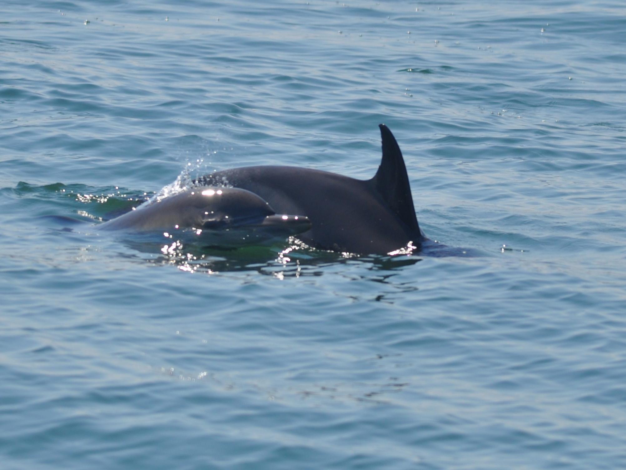 Галерия - Черноморски обикновен делфин - Delphinus delphis ...