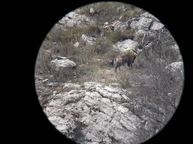 Дива коза, наблюдавана в Природен парк