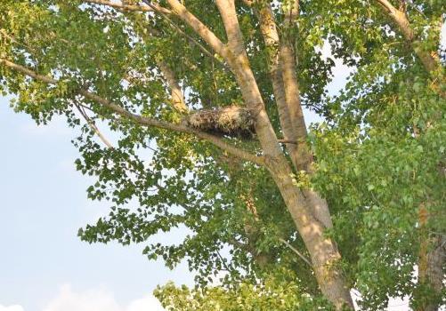 Изкуственото гнездо, заето от белоопашати мишелови