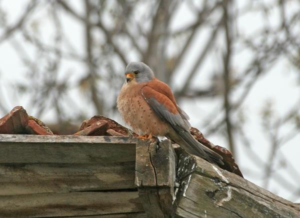Белошипата ветрушка - Falco naumanni
