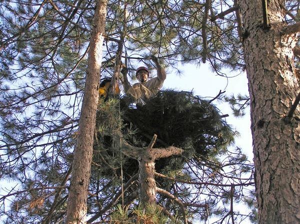 Готовото гнездо е стабилно и издържа дори тежестта на човек.